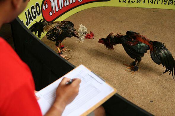 Situs Laga Ayam Sabung Online Terbaik
